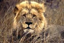 Le lion fait son retour au Gabon