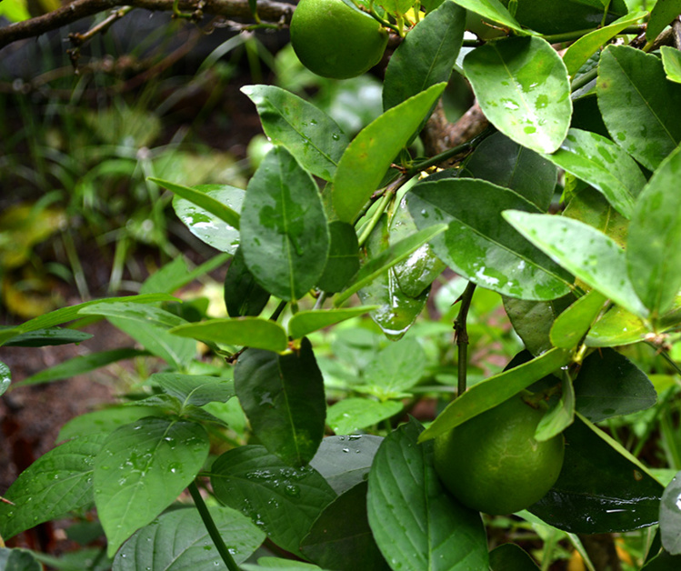 Maladie des agrumes sos vergers en dangers - Taille d un citronnier ...