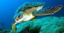 Les tortues vertes de retour en Floride et au Mexique