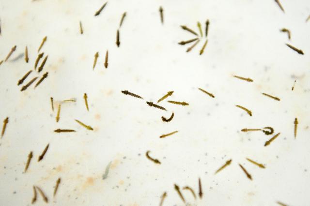 Le paludisme est principalement transmis d'homme à homme par le biais d'une piqûre d'un moustique, l'anophèle femelle. Ce type de moustique n'existe pas en Polynésie.
