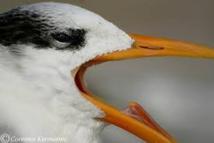 En Guyane, des oiseaux contaminés au mercure