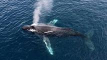 Une baleine grise bat le record de migration