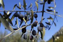 "Face à la fastidiosa ""tueuse"" d'oliviers, la France fait cavalier seul en Europe"