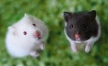 L'Australie recense ses souris, avant le semis des céréales