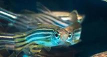Des poissons-zèbres pour détecter les toxines, Grand Prix du salon des inventions de Genève