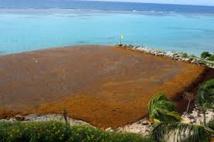 Guadeloupe : mobilisation contre l'invasion des algues sargasses