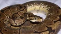 Mais à qui appartient cette mue de python de 4 mètres découverte en Ardèche ?