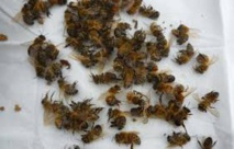 Les apiculteurs américains ont perdu 42% de leurs colonies d'abeilles en un an