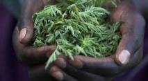 Une plante chinoise, espoir contre la malaria en Afrique