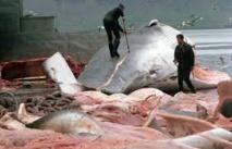 Protestations contre une cargaison de viande de baleine prête à quitter l'Islande