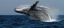 """Japon: la chasse """"scientifique"""" à la baleine sous le microscope"""