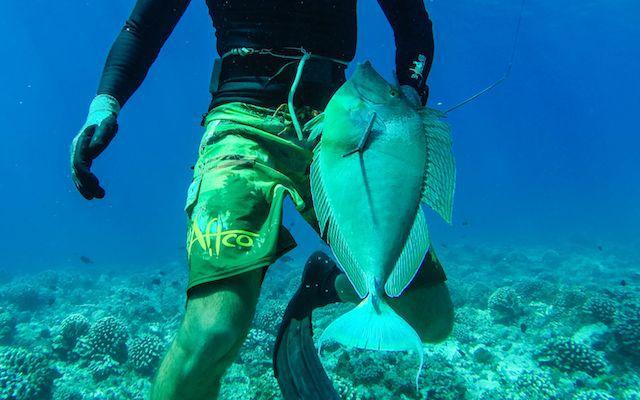 Le ume, un poisson extrêmement méfiant.