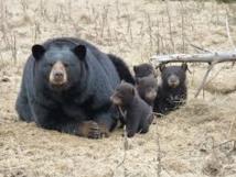L'ours noir de Louisiane n'est plus en danger d'extinction