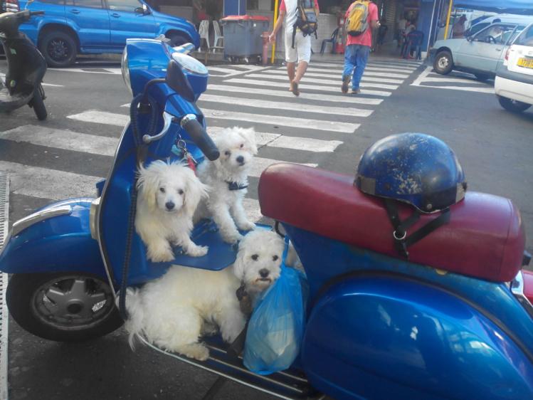 Insolite: aux abords du marché de Papeete, des petits chiens en vespa