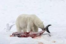 Conséquence du réchauffement, les dauphins s'invitent au menu des ours polaires