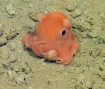 """Une petite pieuvre tellement mignonne qu'elle pourrait s'appeler """"Adorabilis"""""""