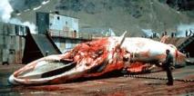 Baleines: la Commission baleinière indécise sur le plan de chasse japonais
