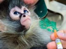 Sida: résultats prometteurs d'un vaccin expérimental sur des singes