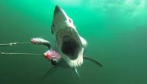 Des appâts accrochés aux caméras pour compter les requins