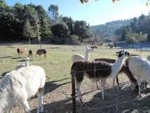 Des lamas remplacent les tondeuses autour d'un IUT de l'Aude