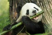 La lenteur du panda explique qu'il s'accommode du bambou