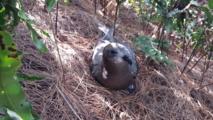 La mascotte du camp sur Manui, un des ilots des Gambier: un pétrel de Murphy (crédit : Roberto Luta)