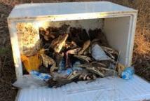 Des dizaines de têtes de crocodiles décomposées retrouvées en Australie