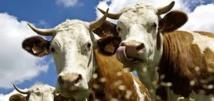 Un complément alimentaire donné aux vaches pour la lutte climatique