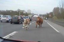 """""""Rodéo"""" sur l'autoroute pour retrouver des vaches après un accident de bétaillère"""