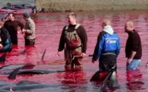 Les habitants des Iles Féroé, une province autonome du Danemark, se livrent à la traditionnelle chasse à la baleine appelée «Grindadrap».