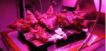 Des astronautes ont goûté pour la première fois de la salade cultivée dans l'espace