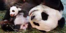 Un panda géant donne naissance à un petit en Malaisie