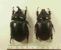 Un oryctes rhinocéros. Si cet insecte s'introduit en Polynésie, cocotiers, uru et manguiers seraient fortement touchés.