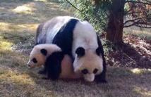 Heureux événements au zoo de Washington: naissance de deux bébés pandas géants