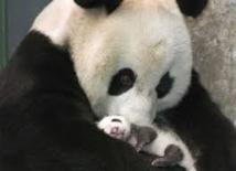 USA: le plus petit des jumeaux panda géant sous antibiotiques
