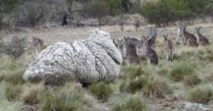 Australie : une tonte nécessaire pour reprendre du poil de la bête