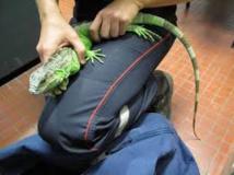 Equateur : un Mexicain arrêté aux Galapagos avec 11 iguanes dans son sac à dos
