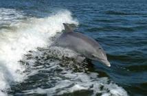 USA: l'armée limitera les sonars et explosifs près des mammifères marins