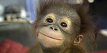 Dans la famille orang-outan, deux nouveaux-nés au zoo de La Palmyre