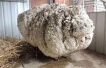 Chris le mouton au livre des records grâce à sa toison de plus de 41 kilos