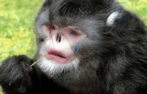 """Un singe qui éternue et un poisson """"qui marche"""" découverts dans l'Himalaya"""