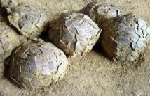 """Découverte de """"bébés"""" dinosaures encore dans leur nid en Mongolie"""