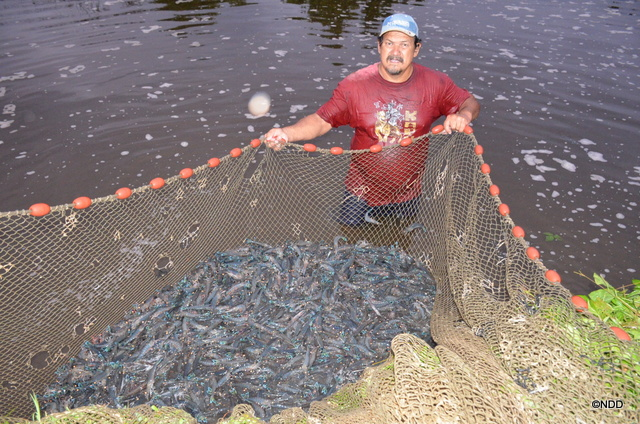Au petit matin, Patrick pêche les crevettes dans les bassins d'eau salée  Teahupo'o