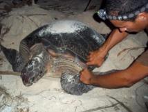 Baguage d'une tortue après la ponte (crédit Te Mana o te Moana)