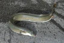 Migration mystérieuse des anguilles: l'une d'elles s'est fait pincer