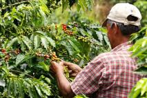 Colombie : la sécheresse menace l'un des meilleurs cafés du monde