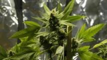 L'Uruguay produira six à dix tonnes de cannabis par an
