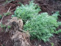 Jeunes pousses, plants à maturité, sticks prêts à la revente, les gendarmes avaient trouvé du paka sous toutes ses formes chez le jeune père de famille.
