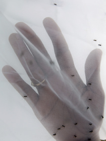 """Brésil : lien """"probable"""" entre le zika et les cas de microcéphalie"""