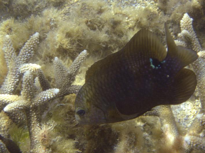 Un poisson jardinier qui défend son champ d'algues (crédit : Elapied pour Wikimedia Commons)